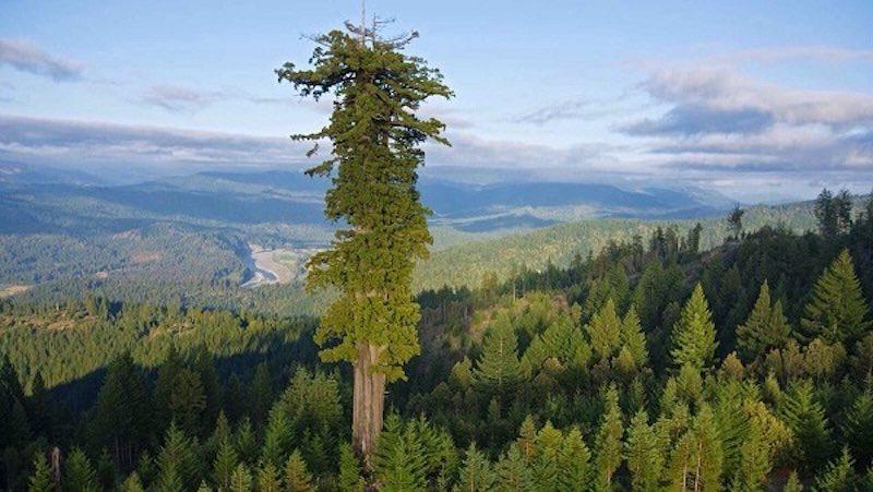 世界で一番高い木