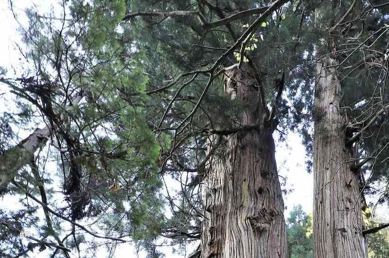 日本一高い木(高さ60m・ビル20階程度)下の方には相当な力が加わっている。