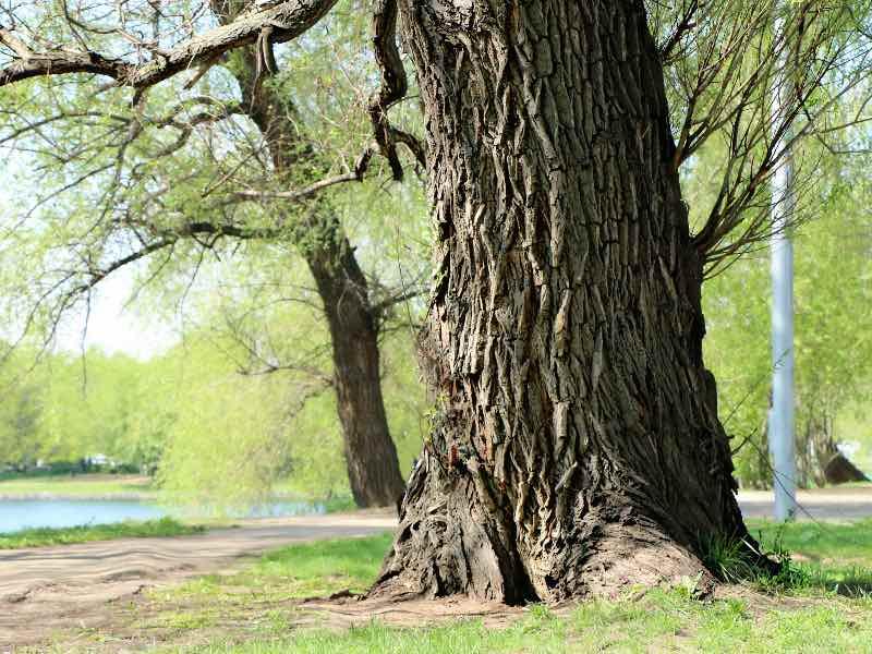 高齢であっても生きている木にはキノコは生えにくい